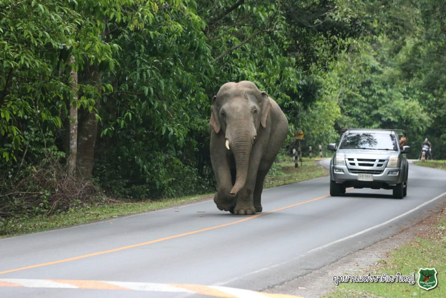泰國的大象,自在的在馬路上散步
