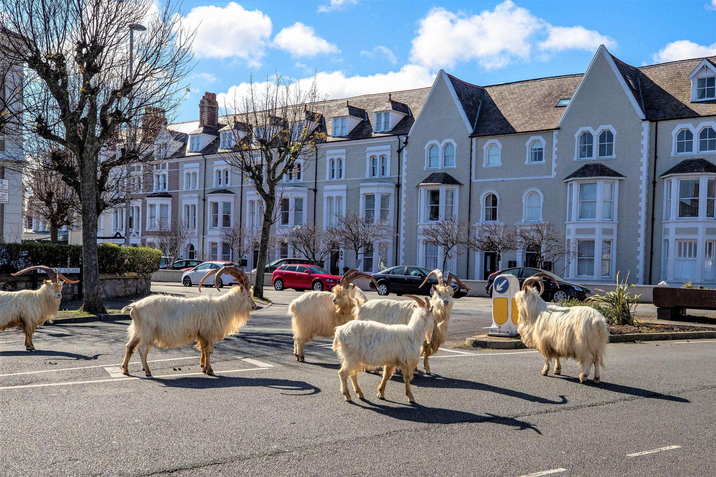 英國威爾斯地區的山羊 成群結隊站在馬路邊