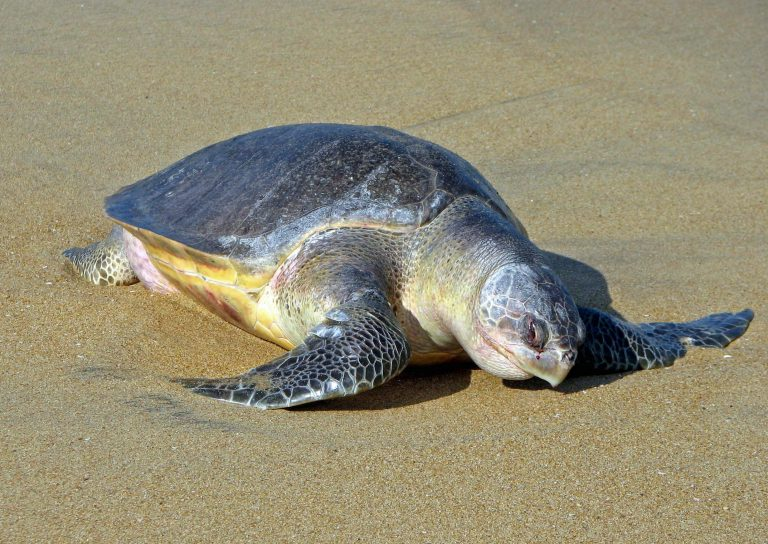 印度數萬隻欖蠵龜也在大白天上岸產卵